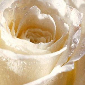 White Rose for You