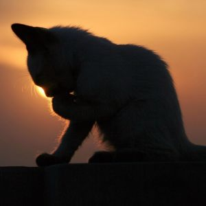 Cat in the sunset