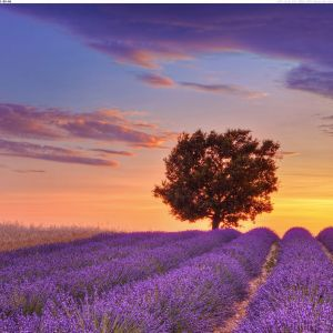 Lavender Field - Provence