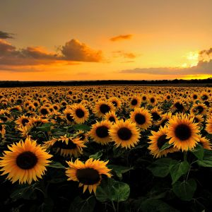sunset sunflowers